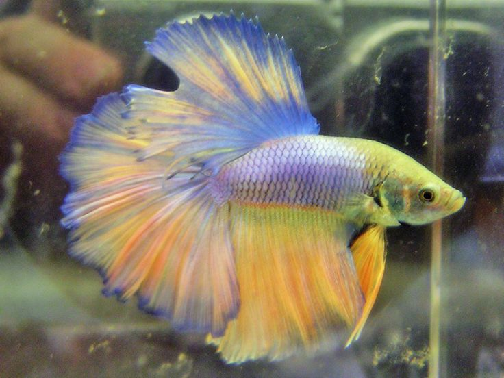 17 best images about bettafish on pinterest copper for Betta fish personality