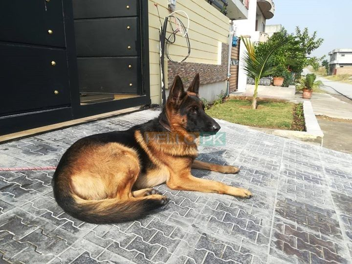 Non Ped Male Dog For Sale Islamabad Dogs For Sale Dogs Male