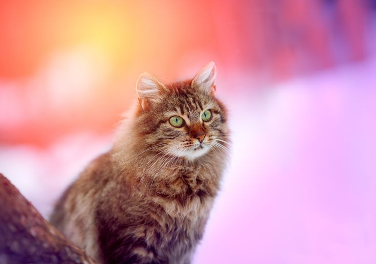 Radiant Siberian cat enjoying the cool weather – The Siberian cat was found in Taiga of Siberia, a Russian forested area with a subarctic climate that no doubt contributed to this cat's long, thick, protective coat.