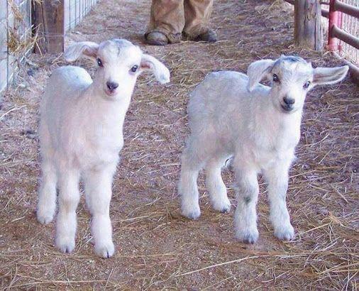 """keçi yavruları """"oğlaklar"""""""