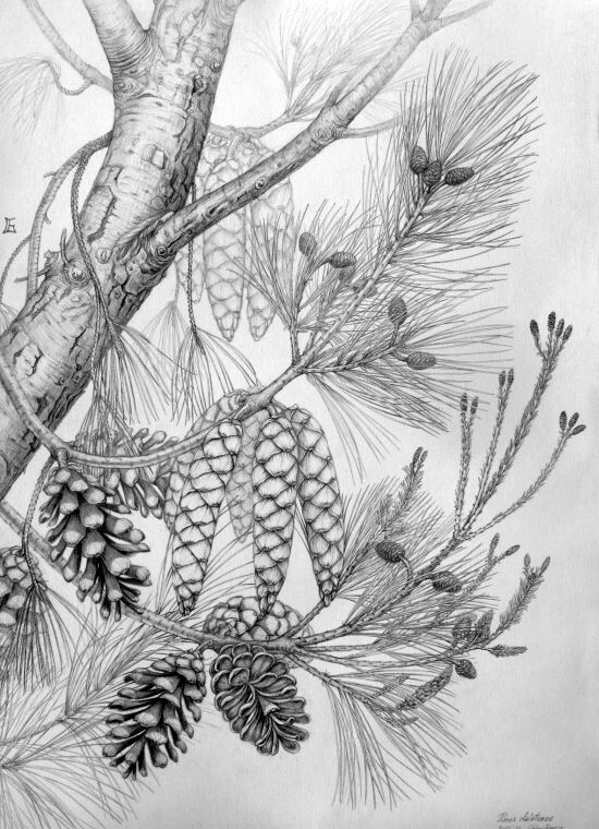 Pinus dalatensis botanical illustration by Gábor Emese hungarian artist. From www.gaboremese.hu
