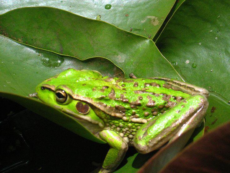 Australian Green Bell Frog in my pond