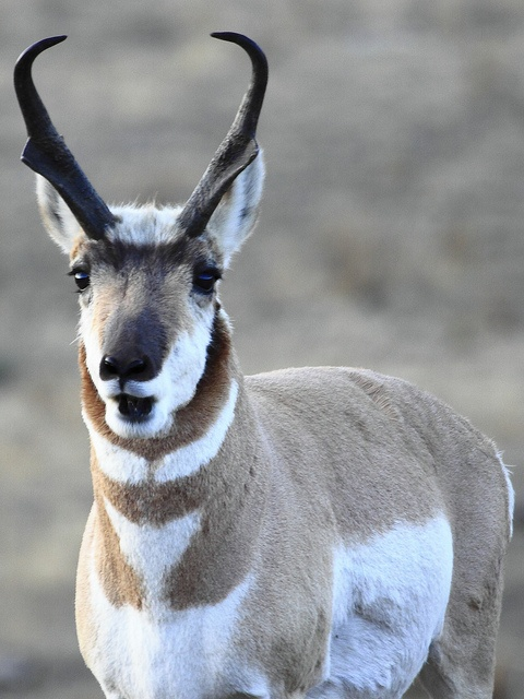 buck antelope, photography by Chris J. Wallace  Themost beautiful animal of the west!