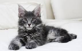 polydactyl maine coon - Google Search