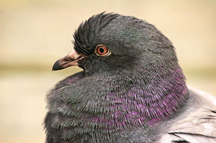 Pidgeon Photo by Paul Yates -- National Geographic Your Shot