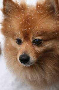 Pomeranian, his name was Princey.  Our neighbors weren't nice and put him down.  One of dad's favorite dogs.