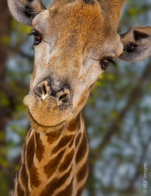 Image result for pics of giraffes laying down