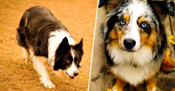 Además de ser el mejor amigo del hombre está comprobado que los perros son muy listos y por eso aquí la lista de 10 razas de perros más inteligentes en el mundo