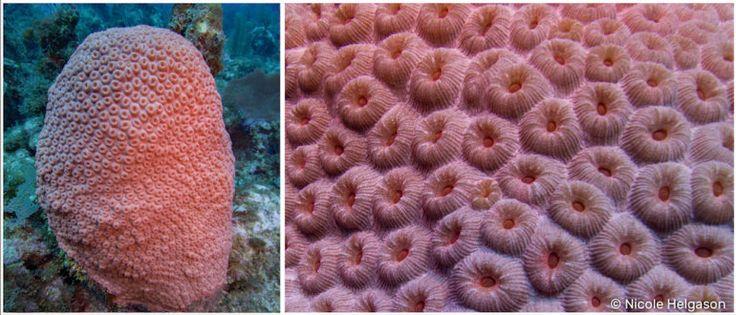 Caribbean Coral Diaries - Montastrea cavernosa | reefdivers.io