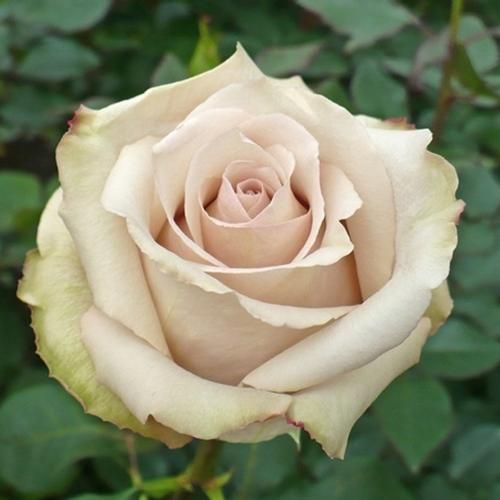 Wholesale Rose Quicksand 50 cm. - Blooms by the Box