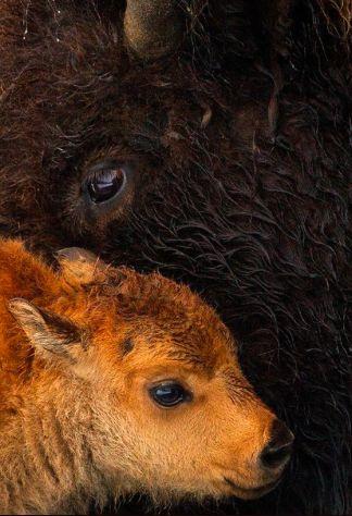 Buffalo baby cuddling with Mom!