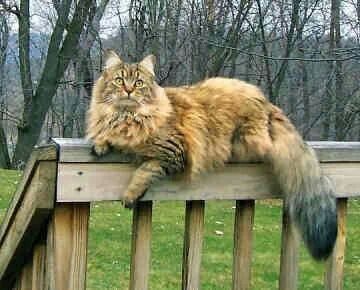 "=^..^=   Maine Coon Cat (=^.^=) Thanks, Pinterest Pinners, for stopping by, viewing, re-pinning, & following my boards.  Have a beautiful day! ^..^ and ""Feel free to share on Pinterest ^..^   #catsandme #cats"