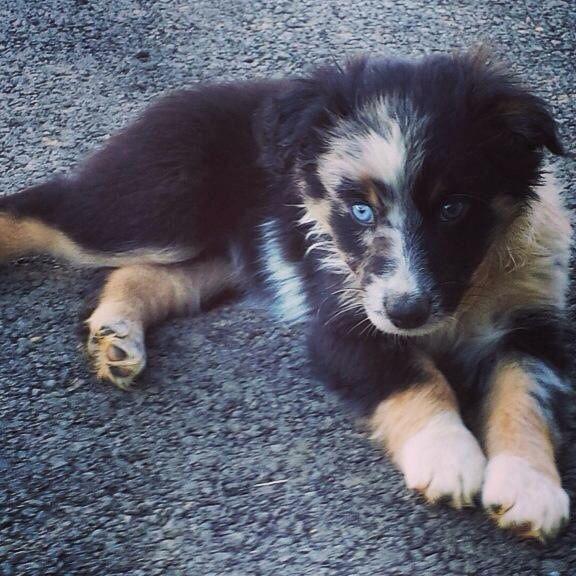 Australian Shepherd puppy | Things that make me go AWW ...