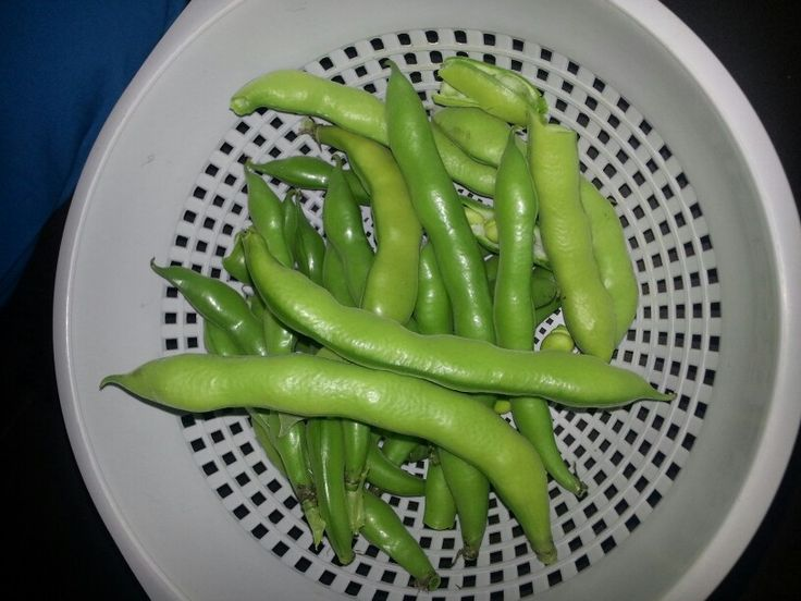 First broad bean harvest...