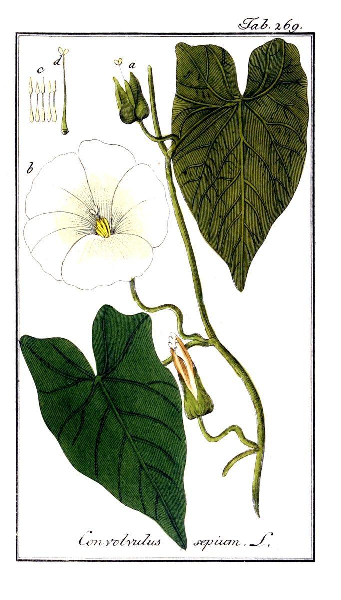 Haagwinde - Calystegia sepium