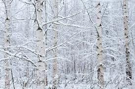Birch winter