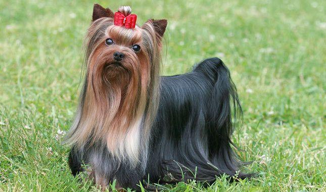 Dog Yorkie                                               Cat                                                            Breed (optional):                                                                Location: