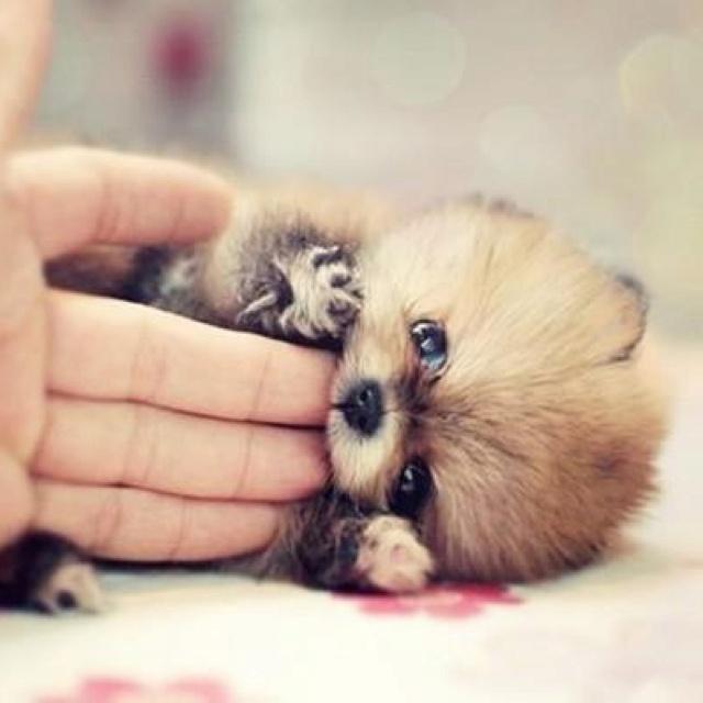 cute baby red pandas - photo #24