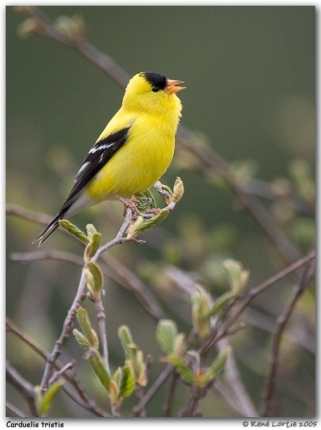 17 meilleures id es propos de chardonneret sur pinterest for Oiseau jaune et noir