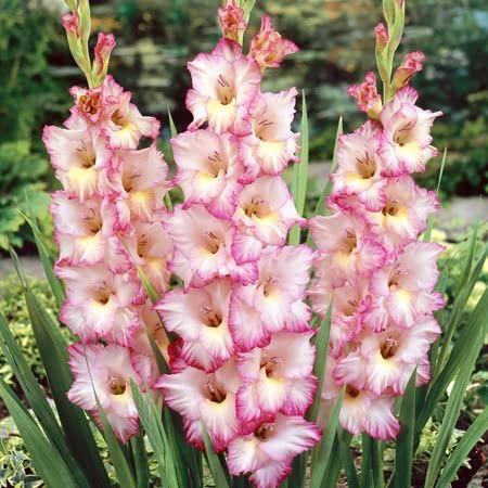 Gladiolus Priscilla gladioli corms