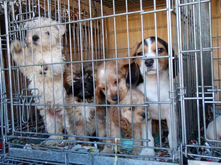 Stop de puppyhandel, teken nu! Deze week werden ruim 80 eerder in beslag genomen puppy's weer teruggebracht naar de broodfokker. Deze fokker wil de hondjes terug sturen naar Hongarije omdat ze inmiddels te oud zouden zijn om te verkopen. Wij vinden het ongelooflijk dat een malafide fokker jarenlang ongestoord zijn gang kan gaan, zonder zich druk te maken over het leed van dier en mens.