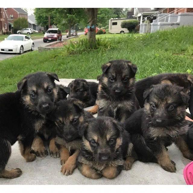 German Shepherd Tips German Shepard Puppies German Shepherd Puppies Shepherd Puppies