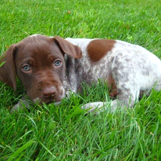 German short haired pointer..Soo cute when their puppies