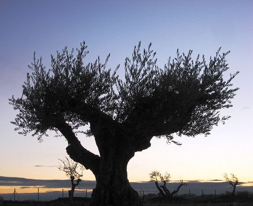 The olive tree and olive oil were were elements of great symbolism in Greece - it is a symbol of peace and prosperity; resurrection and hope.