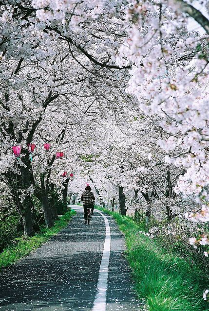Biking under the Sakura trees