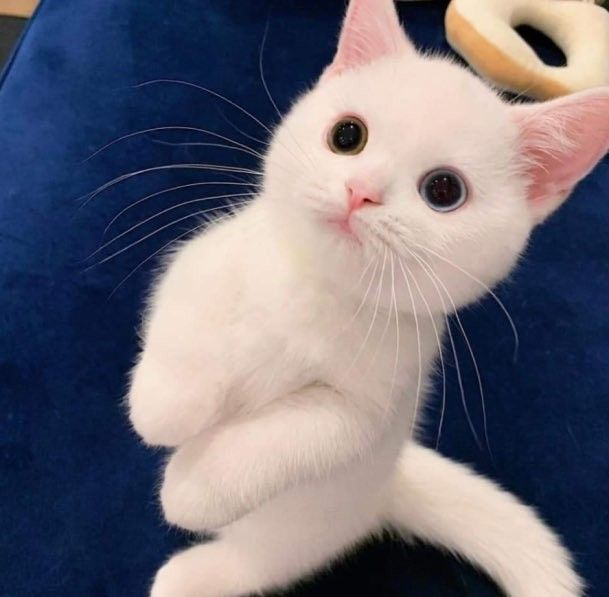 Pin By Val Villena On 可愛い In 2020 Cute Cat Memes Cute Cats Funny Cute Cats