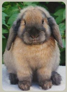 Dwarf Lop Rabbit - from Dandelion Rabbit Stud, Thirlmere NSW Australia