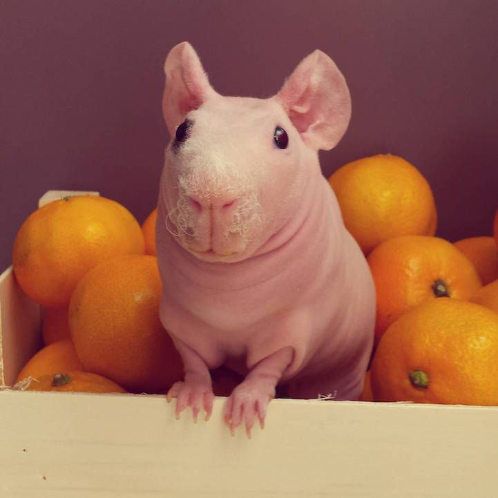 Best Skinny Pigs Images On Pinterest Skinny Pig Guinea Pigs - Ludwig the bald guinea pig is winning the internets hearts