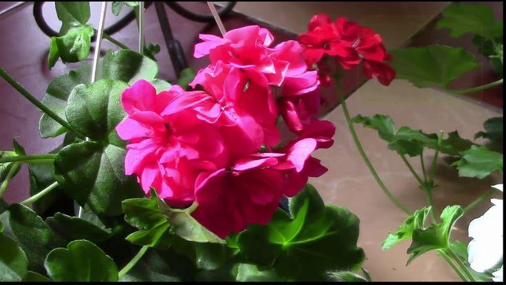 Пеларгония плющелистная готова к цветению  Пеларгония в моёй оранжерейке