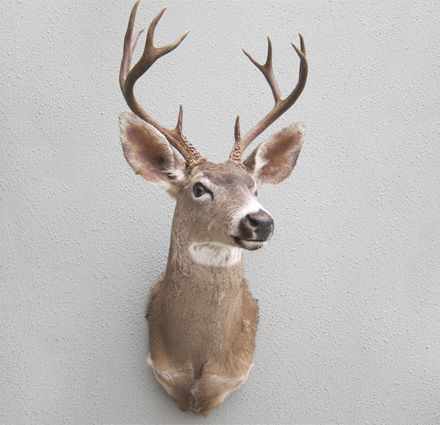 South Pacific Taxidermy White Tail Deer #taxidermy #thingsilove #creative #animalart