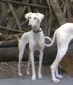 Caravan Hound breed info,Pictures,Characteristics,Hypoallergenic:No