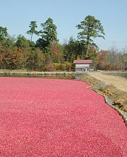 Autumn Red--A sea of cranberries ready to be harvested in Whitesbog, New Jersey