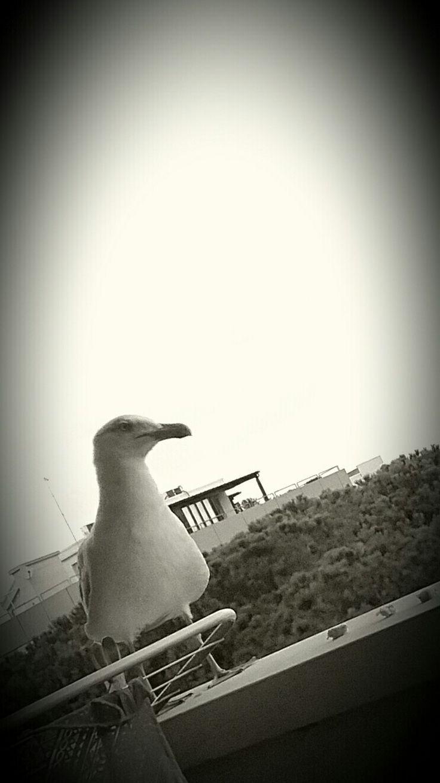 Lignano Sabbiadoro Seagull