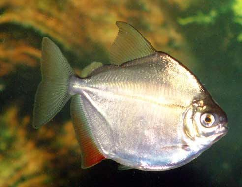 Silver dollar fish aquarium life marine and freshwater for Exotic fish store