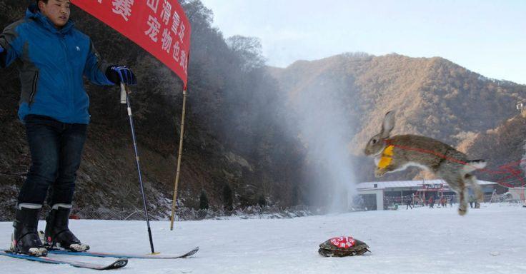 Tartaruga vence coelho em corrida de esqui na China