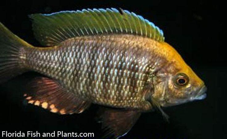 "MALE Copadichromis sp. ""Virginalis gold"" Nkanda Live fish African Cichlid | eBay"