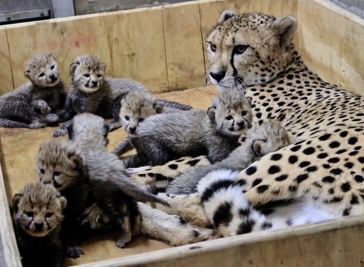 For the first time in Saint Louis Zoo history, a Cheetah has given birth to eight cubs. Three males and five females were born at the Saint Louis Zoo River's Edge Cheetah Breeding Center on November 26, 2017.