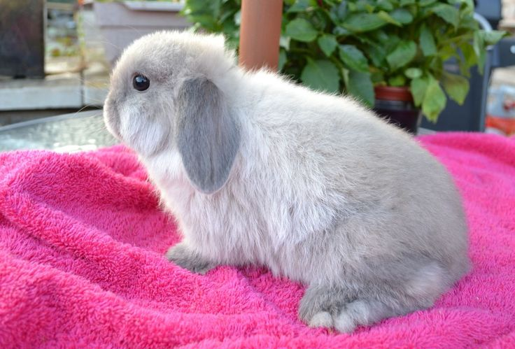 baby bunny on sale $1 | Stunning seal-point mini lop baby rabbits for sale | Bristol, Bristol ...