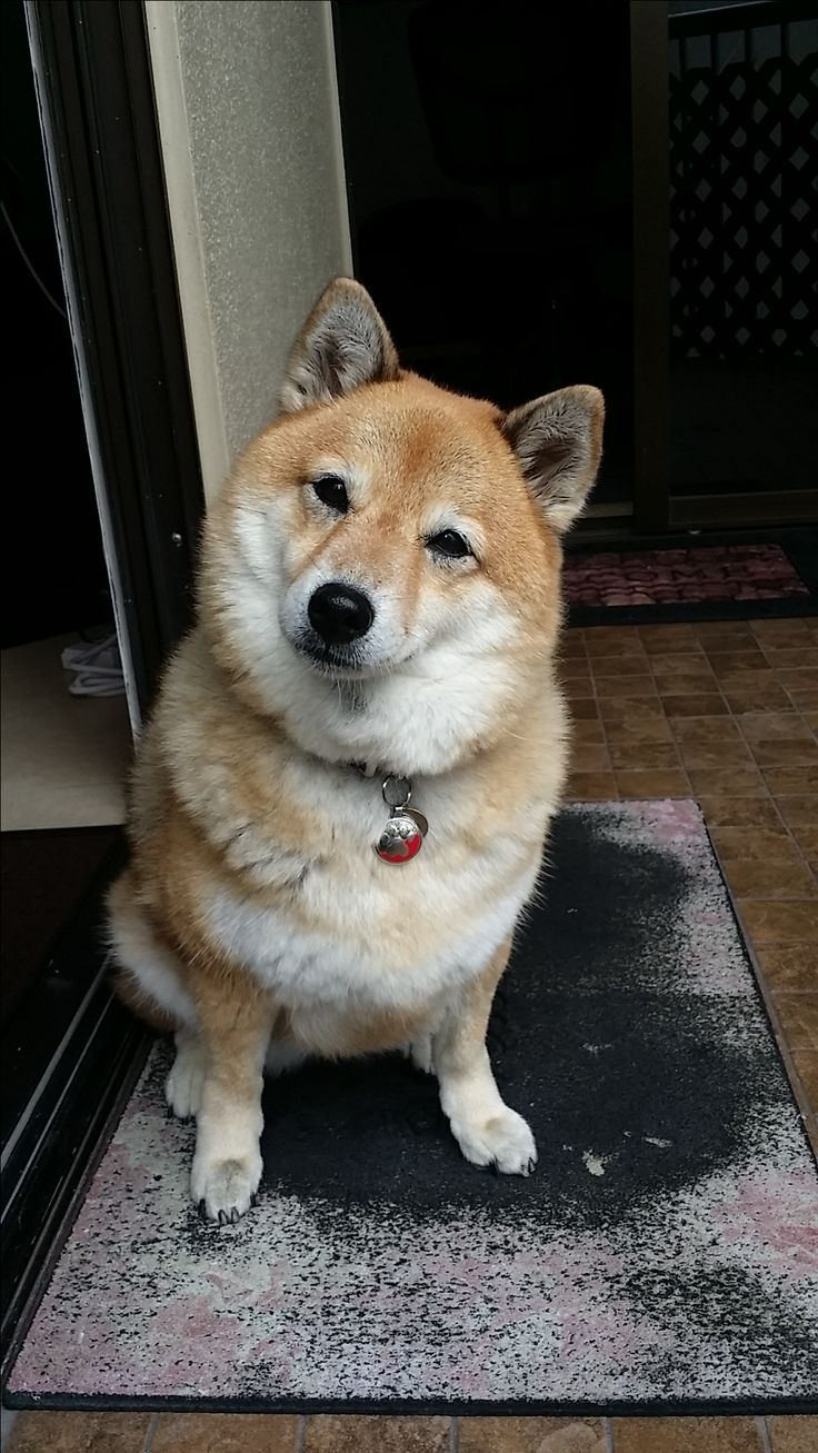 Shiba Inu Kitsune is wondering what her owner is up to. Love Shiba Inus? Learn more about this breed at www.myfirstshiba.com