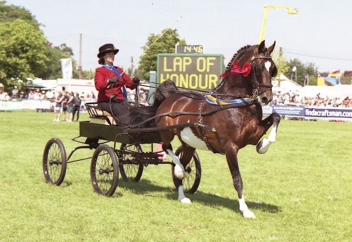 Hackney horse - world renowned for their elegant bouncing trot, prized a show or carriage horses