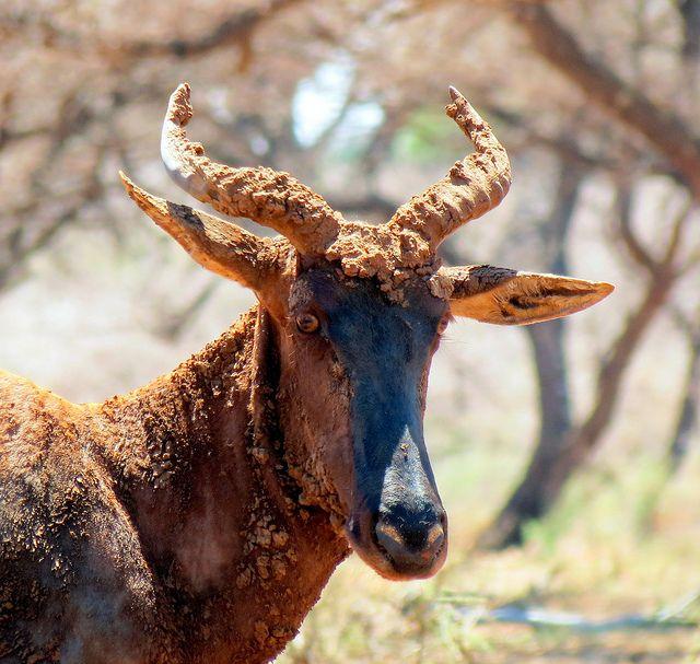 Tsessebe, Mokala National Park, Northern Cape, South Africa