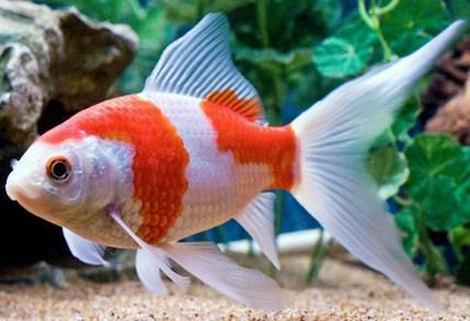 Sarasa Comet (Goldfish)-characterized by their red-and-white coloration and resemble the color pattern in Koi Karp