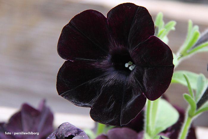 Petunia / Black Satin