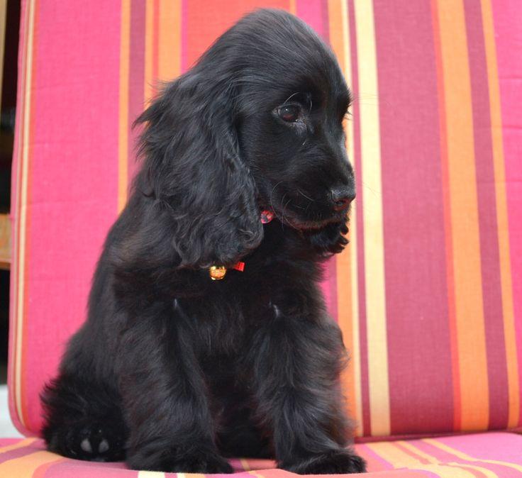 Liberty ~ English Cocker Spaniel Pup ~ Classic Look ~ 12 Weeks