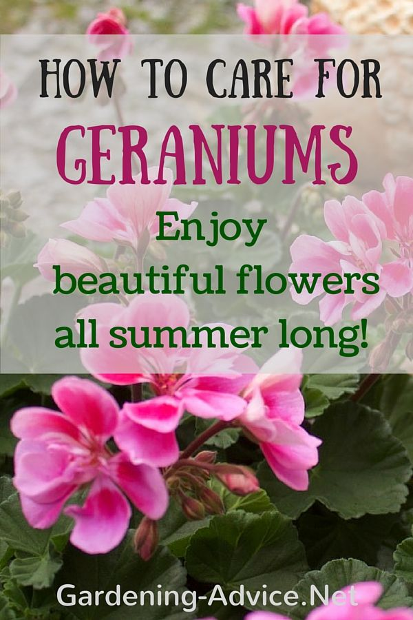 Good Geranium Care is vital for long-lasting summer color of this popular bedding plant. Here are some gardening tips on how to care for Geraniums so that they will flower all summer long. These flowering plants can be grown outdoors in containers or flower beds or indoors all year round.