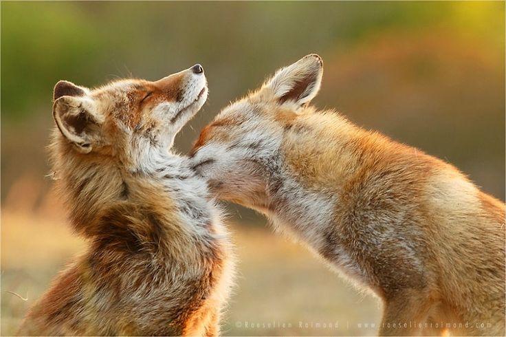 Utalentowany holenderski fotograf Roeselien Raimond wykonuje wspaniałe zdjęcia dzikich lisów. Jak mówi o swoich modelach: Nie znam żadnego innego zwierzęcia, które okazywałoby tak wiele miłości i uczucia, jak robią to lisy. Lisia miłość jest bezgraniczna. Panuje powszechne przekonanie, że lisy są podstępne, chytre, fałszywe. Każdy pamięta z bajek takie własnie